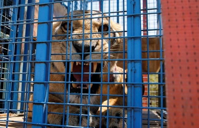 """FOTA DNIA: Aktywiści z organizacji """"Four Paws"""" zdołali uratować 13 zwierząt (lwów, tygrysów, niedźwiedzi i in.) z zoo w północno-syryjskim Aleppo i przewieźć je przez Turcję do Jordanii, gdzie zostały umieszczone w rezerwacie (niektóre są b. chore, ślepe etc.)."""